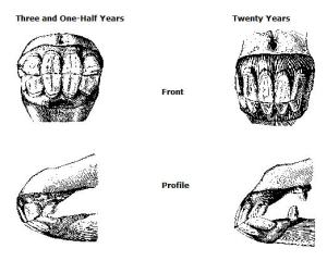 Graphics that show the progression of teeth growth