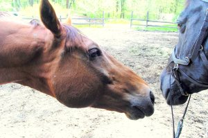 Horses bond initially in pairs. Freedom and Kroni had become good friends.