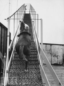 Dimah the Diving Horse climbs the ramp