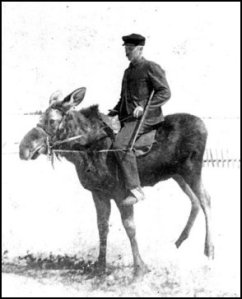 Moose under saddle.