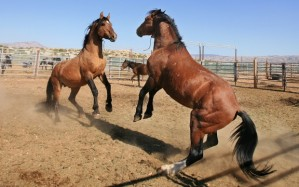 Conquistador challenges another stallion in the BLM holding pens.