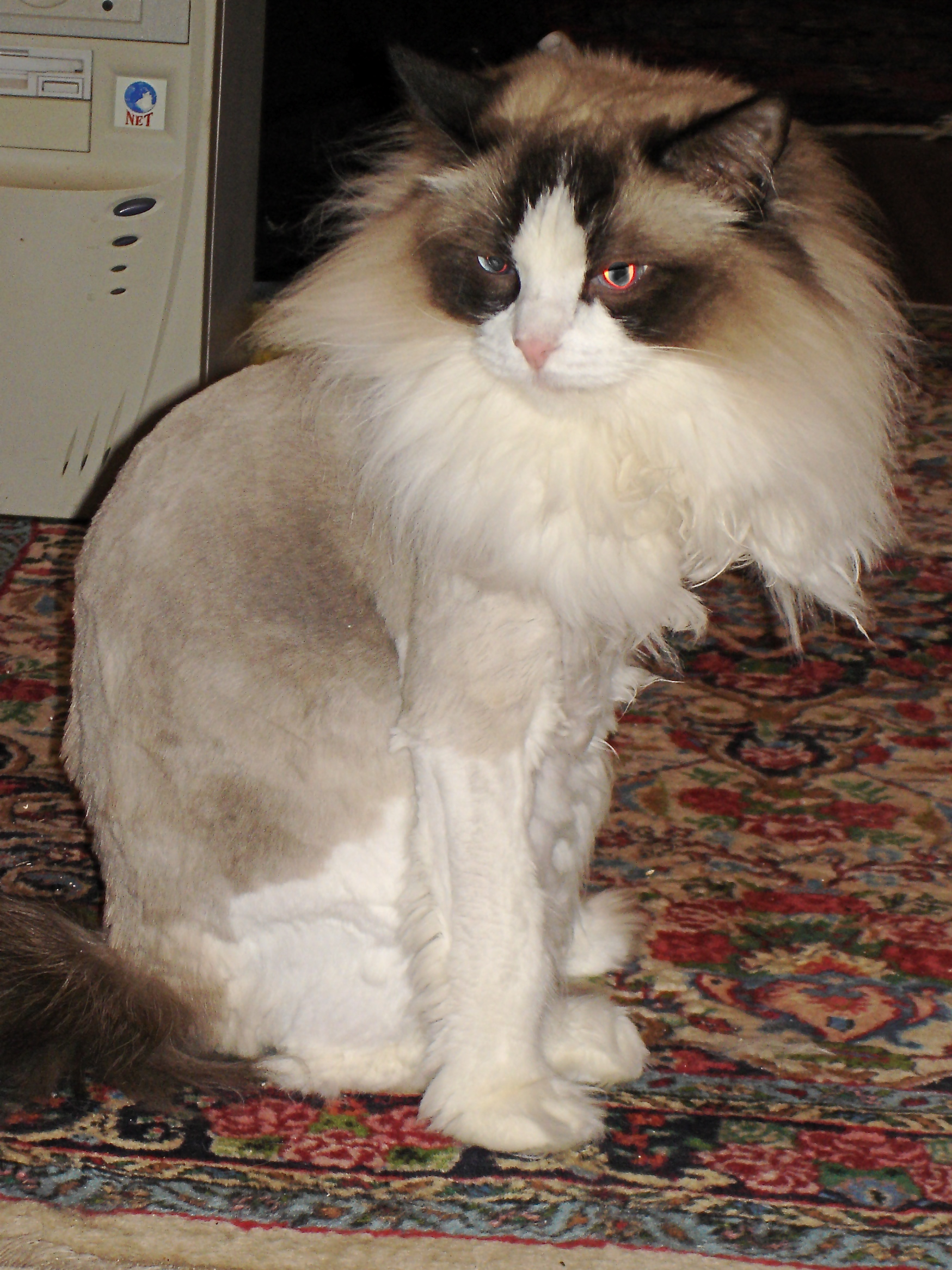 Fun With Clippers Or How To Give Your Cat A Lion Cut
