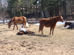 Horses sleeping in the sun