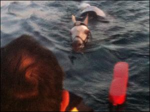 Arabian horse rescued at sea