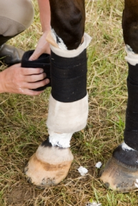 Applying a standing wrap over poultice