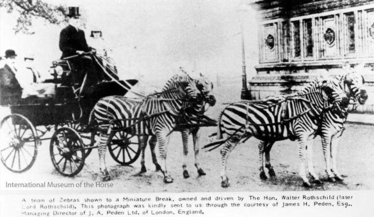 Zebra drawn carriage