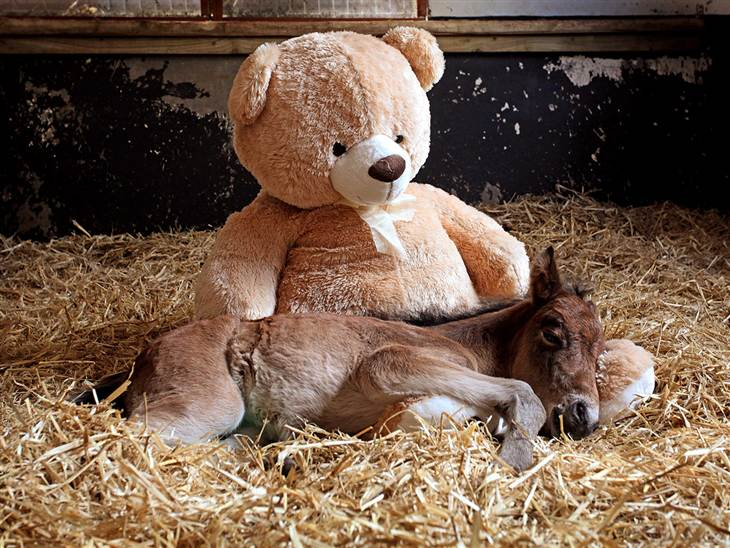 Every baby needs a cuddle! The horse lovers at The Mare and Foal Sanctuary in southwest England know this. That's why they appealed to nearby residents for donations of extra-large stuffed animals to help an orphaned foal named Breeze get through a rough patch.