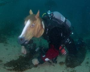 Pacific Sea Horse