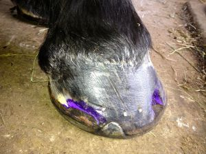 Right Front Hoof seven weeks ago
