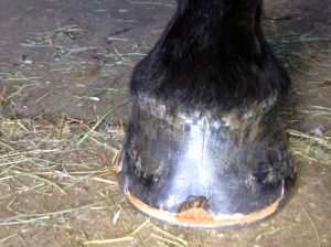 zelda's right front hoof after shoeing