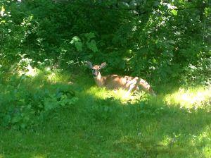 Shady Deer