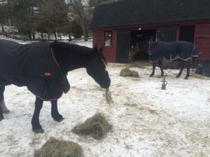 Eating hay