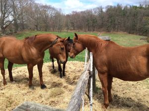 Making friends over the fence line. Willow definitely has a type -- chestnut geldings!