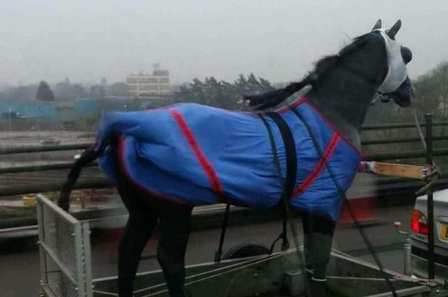 Horse on trailer