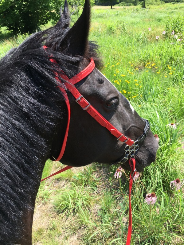 Zelda rocking her bitless bridle