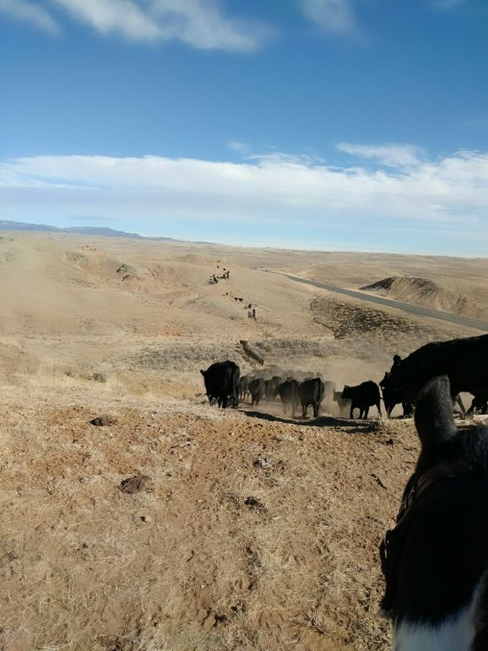 WrWrangling cattle in Wyoming