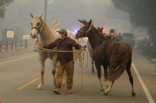 Horses being evacuated