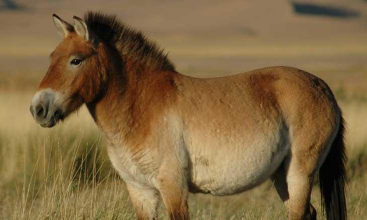 Przewalskis-horse