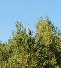 Blue heron at the top of a tree